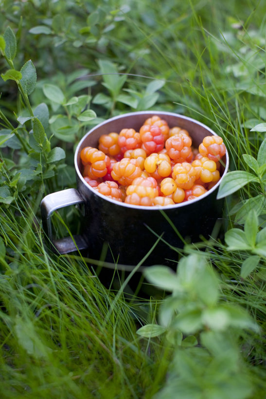 Rubus chamaemorus -  native at alpine and arctic tundra English common names cloudberry, bakeapple in Atlantic Canada, Knotberry and Knoutberry England Averin and Evronat Scotland