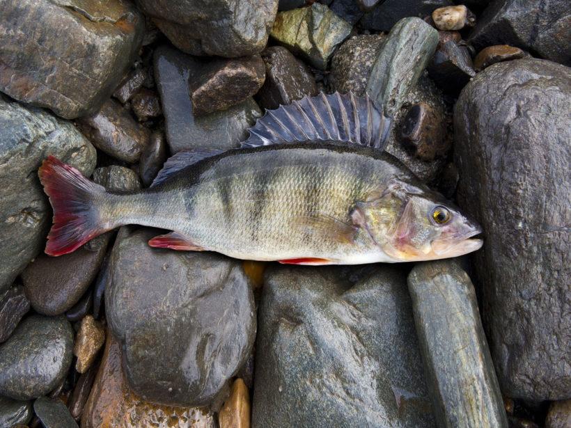 perch, bass, freshwater fish