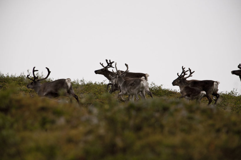 reindeers sweden
