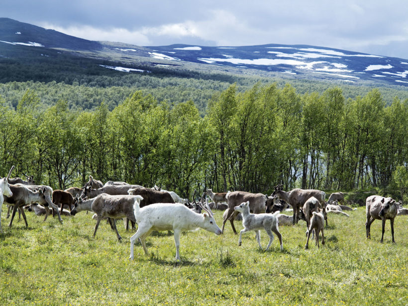 reindeers in Scandinavia